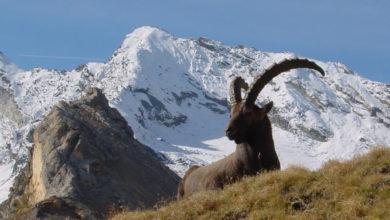 Photo of Gran Paradiso, oltre 200 escursioni gratuite con le Guide del Parco