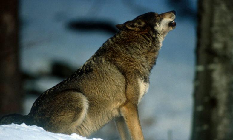 Photo of Valle d'Aosta chiederà abbattimenti lupo
