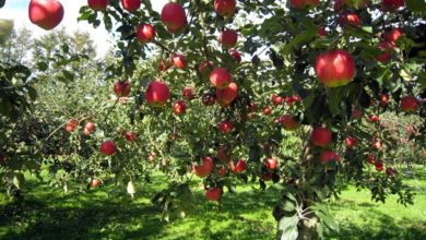Photo of Tolstoj ne fu un grande estimatore: le mele del trentino dal sapore fresco e carnoso