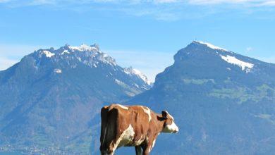 Photo of Adotta una mucca e riceverai formaggio a casa, boom di richieste