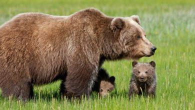 Photo of 11 cuccioli di orso bruno marsicano nati nel Pnalm nel 2014