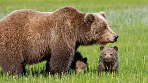orso-buno-con-cuccioli