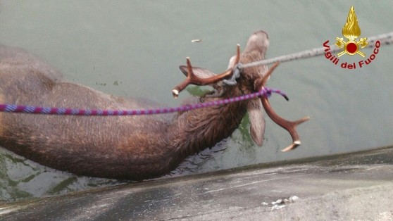 Photo of Cervo cade nel canale e viene trasportato per chilometri dalla corrente, salvato