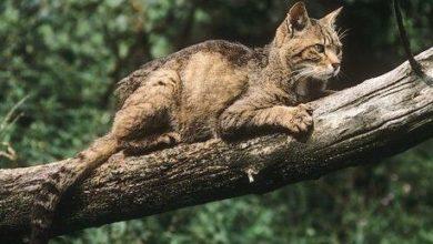 Photo of Tutela del gatto selvatico sull'Etna, partenariato Parco-Università