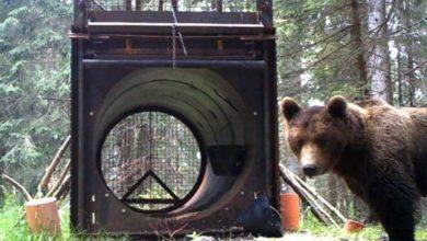 Photo of L'orsa Caterina cambia nome e casa: Dorothea adottata dal Parco Majella