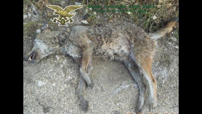 Scanno (L'Aquila): carcassa di lupo