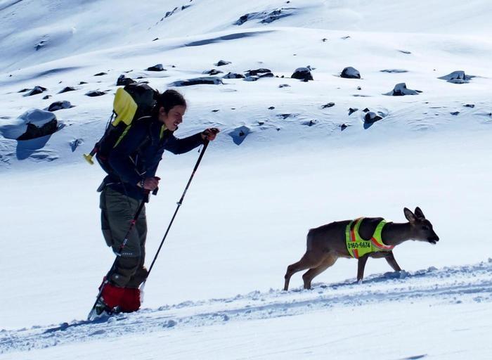 Scialpinista in gita con capriolo, Bambi adottato da tedesco e dal suo cane