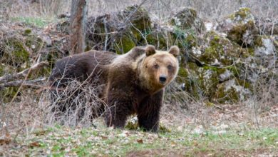Photo of Trentino, uomo ferito da un orso mentre fa jogging col suo cane