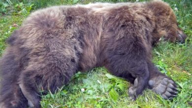 Photo of L'orso M6 trovato morto in Valle di Non, indaga la Procura