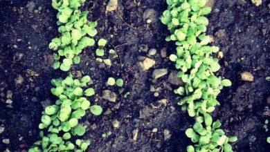 Photo of L'orto è il balsamo dello spirito: erbe officinali, alla scoperta della maggiorana