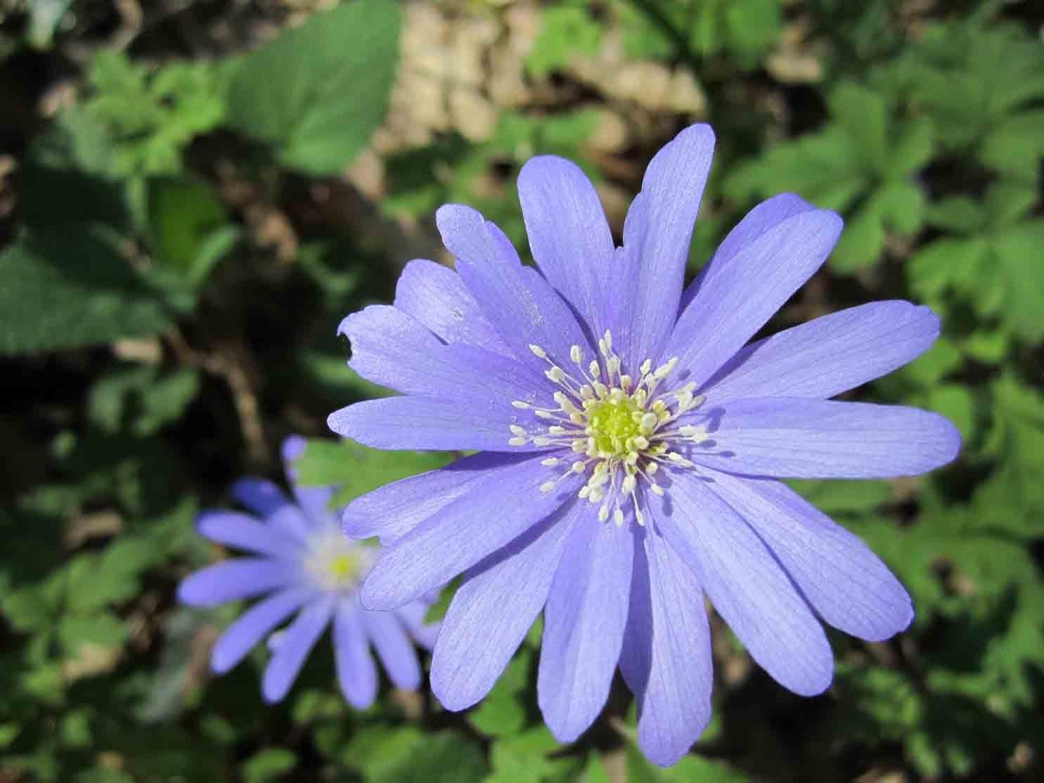 Anemone apennina_fiore lilla