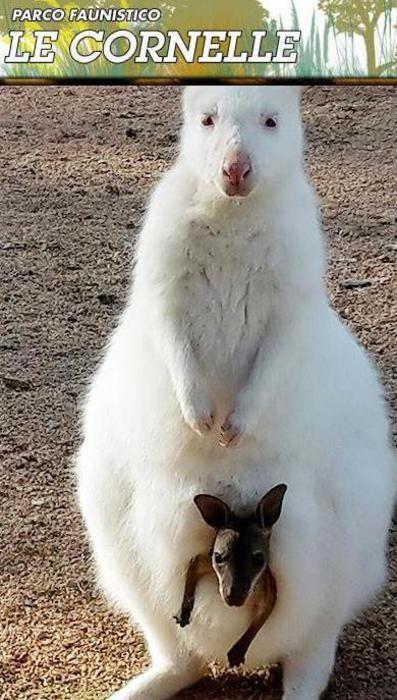 nato canguro in parco faunistico le cornelle, concorso per nome