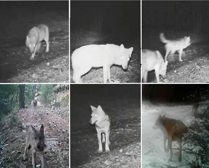 lupi aspromonte