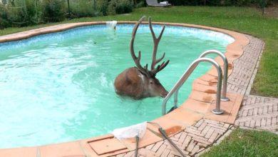Photo of Cervo si tuffa nella piscina di una villa sull'Appennino tosco-emiliano