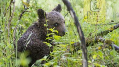 Photo of Recuperato orsetto senza mamma nel Parco nazionale d'Abruzzo