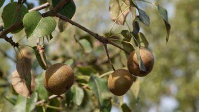 Photo of Alla scoperta dei frutti dimenticati: la pera volpina e tante altre prelibatezze