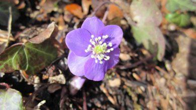 Photo of Hepatica, il fiore dalla forma e dal colore del fegato