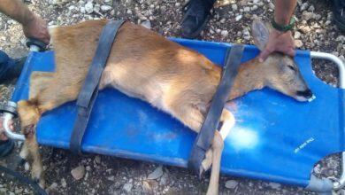 Photo of Majella, salvato cucciolo di capriolo inseguito da cani randagi