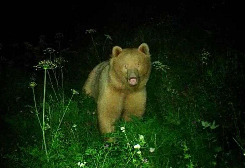 orso biondo