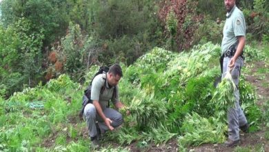 Photo of Grossa piantagione di cannabis scovata sul Gran Sasso