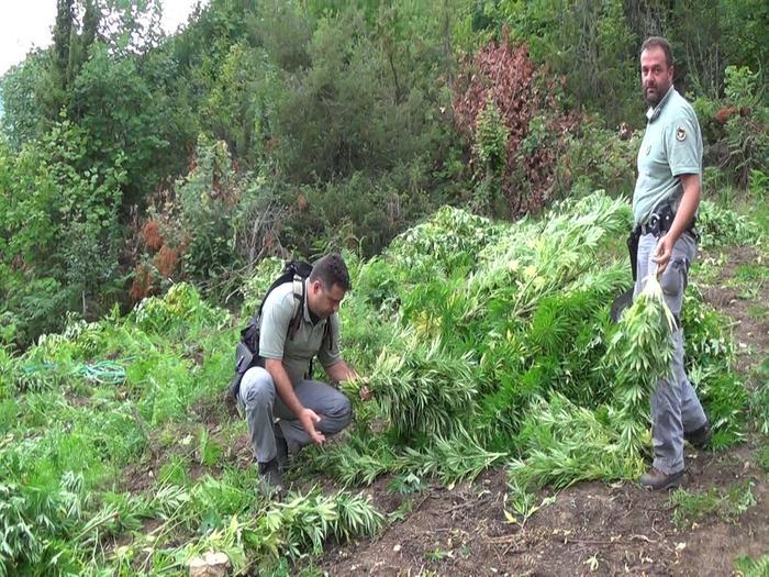 Teramo - vasta piantagione di Cannabis  droga
