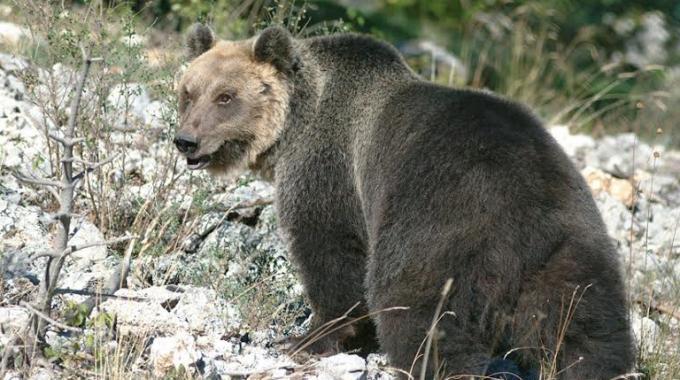 Photo of Allarme orsi in Abruzzo, vertice in Comune a Sulmona