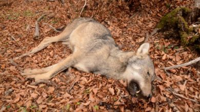 Photo of Tre lupi trovati morti sull'Appennino lucano