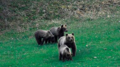 Photo of Pnalm, nel 2015 nati almeno 6 cuccioli di orso marsicano