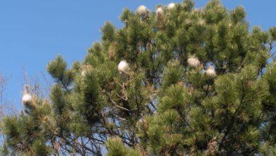 Photo of Quasi la metà delle pinete in Val d'Aosta colpite da processionaria