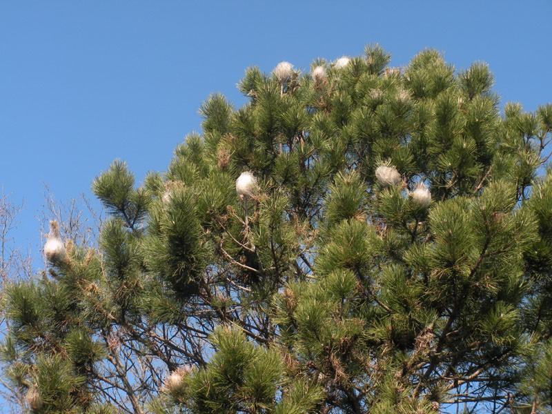 pino processionaria