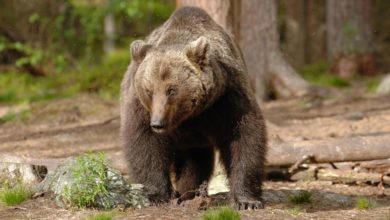 Photo of Orso su Monte Peller aggredisce padre e figlio