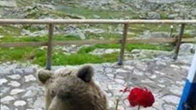 Photo of Orso si affaccia alla finestra del rifugio