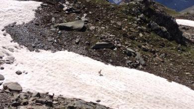 Photo of Avvistato raro esemplare di stambecco bianco