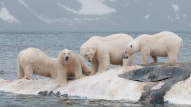 Photo of Meteorologi russi assediati dagli orsi polari
