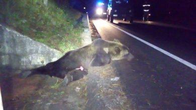 Photo of Investito da mezzo pesante, morto orso in Abruzzo