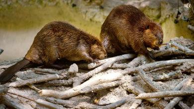 Photo of In Patagonia abbattimento di 100.000 castori. Ok di Onu e ambientalisti