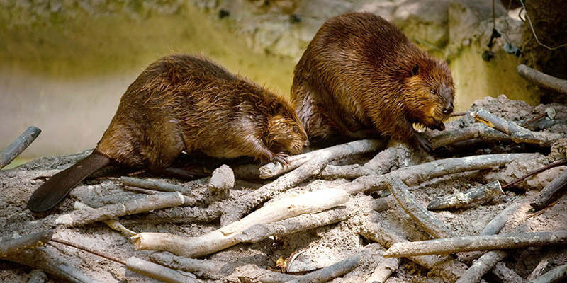 WASHINGTON  - AUGUST 29:  Two North American beavers check out a man-made beaver dam in the new beaver enclosure during a sneak peak of the new American Trail at the Smithsonian National Zoo August 29, 2012 in Washington, D.C.  There are three beavers in the enclosure, Chipper, Buzz and Willow, all born in June of 2000. The trail, featuring animals and horticulture native to the Americas, opens to the public on September 1.  (Photo by Allison Shelley/Getty Images)