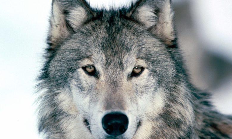 Photo of Difendi il lupo, con un sms!