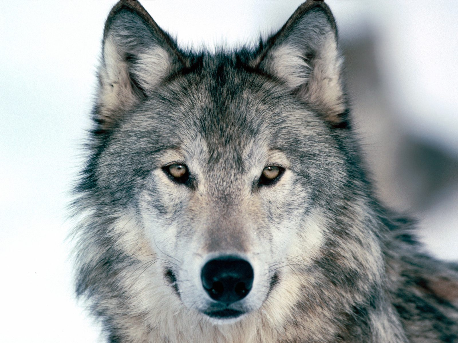 Risultati immagini per lupo