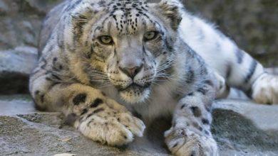 Photo of Il leopardo delle nevi rischia di scomparire per sempre