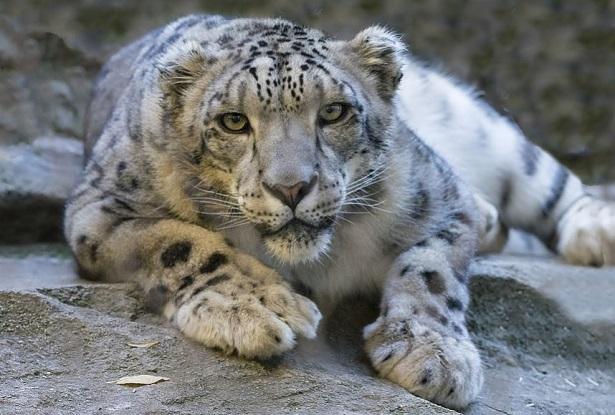 leopardo nevi