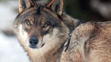 Photo of Per la prima volta il monitoraggio del lupo in tutta Italia