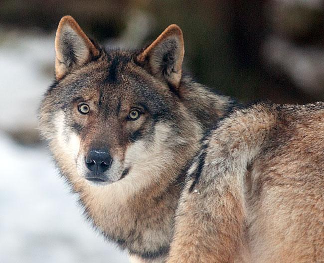 monitoraggio lupo