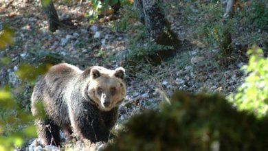 Photo of WWF: Pnalm, una nuova strada mette a rischio l'orso marsicano