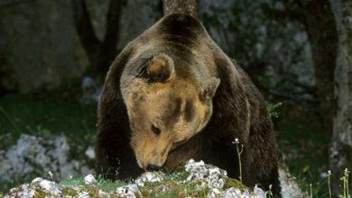 Photo of Presunta aggressione in Trentino: ergastolo o uccisione per l'orso