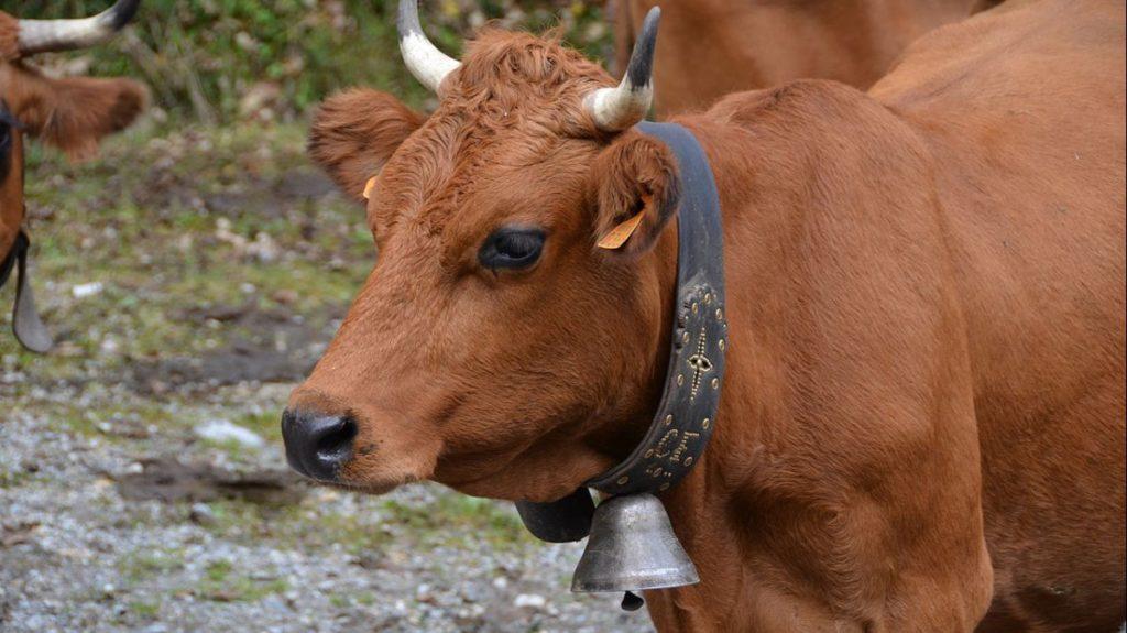 mucca campanacci