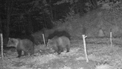Photo of I cuccioli dell'orsa KJ2 stanno bene