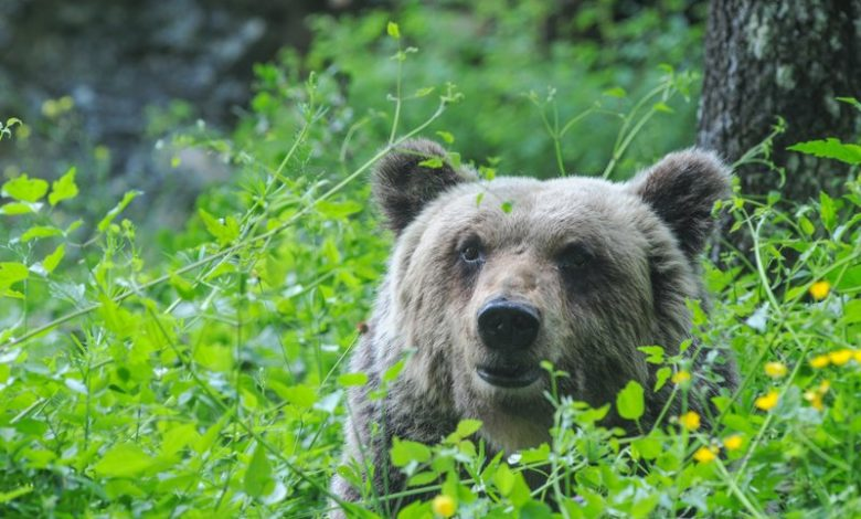 abbattimento orso trentino