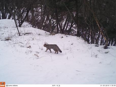 Ambiente: gatto selvatico in Trentino. ANSA7UFF STAMPA PROVINCIA AUTONOMA DI TRENTO ++NO SALES, EDITORIAL USE ONLY++