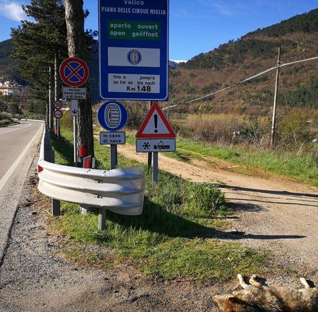 Pettorano sul Gizio (L'Aquila) - lupo morto